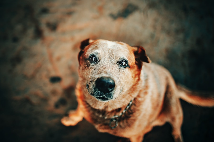 Older dog at Triangle Charities & Organizations